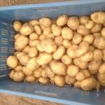 vroege aardappelen 2